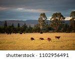 view of beef cattle in pasture... | Shutterstock . vector #1102956491