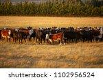 view of beef cattle in pasture... | Shutterstock . vector #1102956524