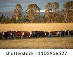 view of beef cattle in pasture... | Shutterstock . vector #1102956527