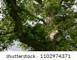 Small photo of Branches of the old big green sycamore in Crete, Greece.
