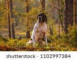 Dog English Pointer Sitting In...