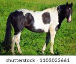 the appaloosa is an american...   Shutterstock . vector #1103023661