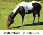 the appaloosa is an american...   Shutterstock . vector #1103023679