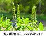 lupine ready to bloom | Shutterstock . vector #1103024954