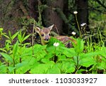 a roe deer fawn in the forest | Shutterstock . vector #1103033927