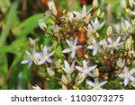 Small photo of swertia is violet and beautiful flower use medicinal herb treat ailment such as malaria, Chaing Dao Thailand