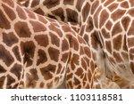 rothschild's giraffe  giraffa... | Shutterstock . vector #1103118581