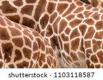 rothschild's giraffe  giraffa... | Shutterstock . vector #1103118587