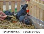Shinny Guinea  Pig Eating Food