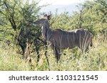 female kudu antelope  buck ... | Shutterstock . vector #1103121545