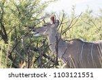 female kudu antelope  buck ... | Shutterstock . vector #1103121551