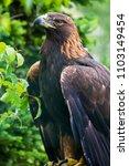golden eagle   closeup in the... | Shutterstock . vector #1103149454