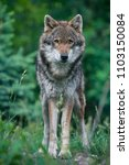 wolf in a forest   close up | Shutterstock . vector #1103150084
