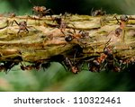 Red Wood Ants On Branch With...