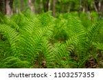 fern green plant woods forest... | Shutterstock . vector #1103257355