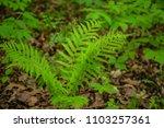 fern green plant woods forest... | Shutterstock . vector #1103257361
