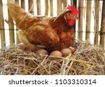 The Hen Is Hatching The Egg In...