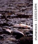 spillway deceased fish in water ... | Shutterstock . vector #1103313494