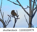a lonely corn bunting perched... | Shutterstock . vector #1103320979