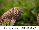 Stock photo funny burrowing owl athene cunicularia tilts its head outside its burrow on marco island florida 1103329277