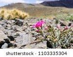 cold desert phlox  phlox... | Shutterstock . vector #1103335304