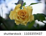 yellow rose of texas | Shutterstock . vector #1103355437