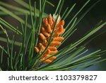 mediterranean pine tree blossom ... | Shutterstock . vector #1103379827