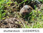 gopher sticking its head out of the hole.
