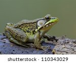 Green Frog  Lithobates...