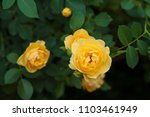 Stock photo yellow roses on a bush in a summer garden close up of garden rose in the summer sunny day 1103461949