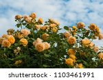 Stock photo yellow roses on the blue sky background yellow roses on a bush in a garden close up of garden 1103461991