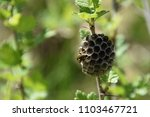 vespiary with wasp on raspberry ... | Shutterstock . vector #1103467721