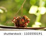 american pea  buddhist rosary... | Shutterstock . vector #1103550191