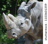 the white rhinoceros or square...   Shutterstock . vector #1103601359