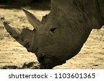 the white rhinoceros or square...   Shutterstock . vector #1103601365