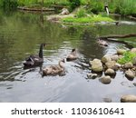 Black Swan with Cygnets - stock photo