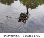 Solo Black Swan On The Water - stock photo