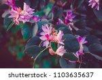 Bauhinia Variegate  Orchid Tre...
