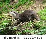 aonyx cinerea   oriental small... | Shutterstock . vector #1103674691