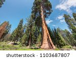 giant sequoia trees at... | Shutterstock . vector #1103687807