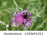 Small photo of Field scabious (Knautia arvensis) thereon an bumblebee (Bombus sp.)
