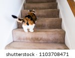 Stock photo calico white and ginger cat running up carpet stairs inside indoor home 1103708471