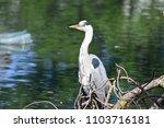 ardea cinerea  grey heron  | Shutterstock . vector #1103716181