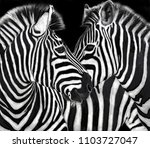 Zebras Eye To Eye