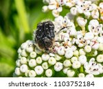 macro photo of tropinota hirta... | Shutterstock . vector #1103752184