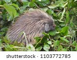 porcupine making an appearance | Shutterstock . vector #1103772785