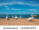 swans walk on the sandy beach... | Shutterstock . vector #1103814695