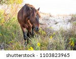 a wild pony foraging on the... | Shutterstock . vector #1103823965