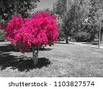 a tree with pink leaves in a... | Shutterstock . vector #1103827574