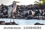a great blue heron  ardea... | Shutterstock . vector #1103848385